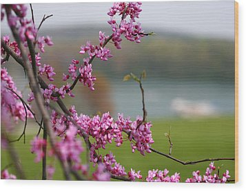 Judas Tree Wood Print by John Holloway