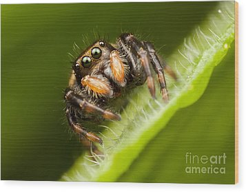 Jumping Spider Phidippus Clarus I Wood Print by Clarence Holmes