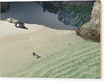 Just Born Baby Sea Lion Pup With Mom And Dad Napping On The Beach Wood Print by Artist and Photographer Laura Wrede