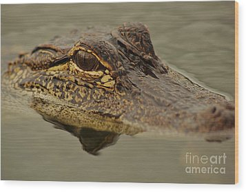Juvenile Alligator Wood Print by Lynda Dawson-Youngclaus