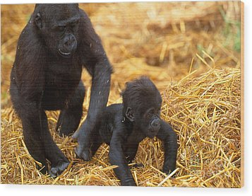 Juvenile And Baby Lowland Gorillas Wood Print by Art Wolfe