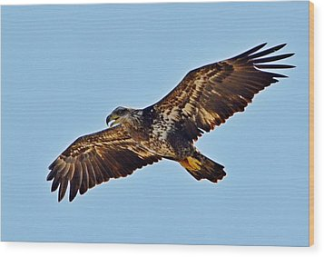 Juvenile Bald Eagle In Flight Close Up Wood Print by Jeff at JSJ Photography