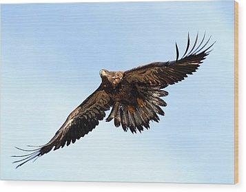 Juvenile Bald Eagle Wood Print by Mike Farslow