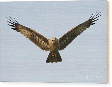Juvenile Brahminy Kite Hovering Wood Print by Tim Gainey