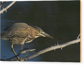 Juvenile Green Heron Wood Print by Larry Bohlin