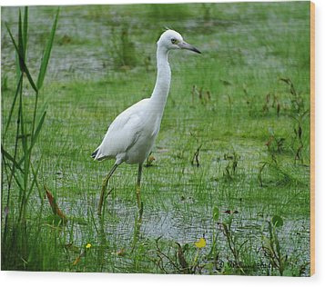 Juvenile Little Blue Heron In Search Of Food Wood Print