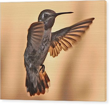 Juvenile Male Anna's In Flight Wood Print