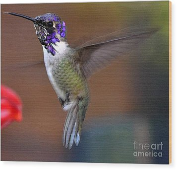 Wood Print featuring the photograph Juvenile Male Costa by Jay Milo