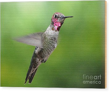 Wood Print featuring the photograph Juvenile Male Anna's In Flight by Jay Milo