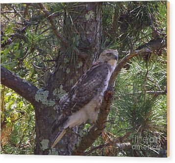 Juvenile Red-tailed Hawk Wood Print by CapeScapes Fine Art Photography