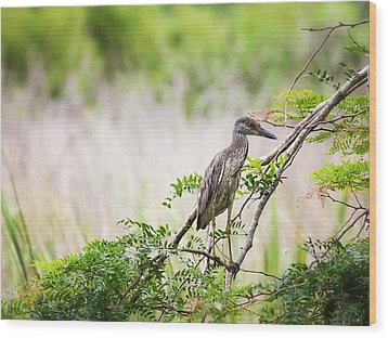 Wood Print featuring the photograph Juvenile Yellow Crowned Night Heron by Zoe Ferrie