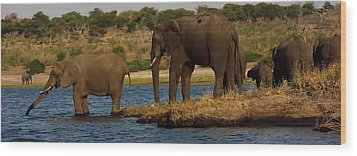 Wood Print featuring the photograph Kalahari Elephants Preparing To Cross Chobe River by Amanda Stadther