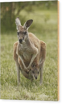 Kangaroo And Joey Wood Print