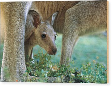 Kangaroo Joey Wood Print