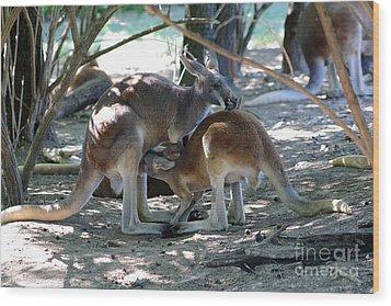 Kangaroo Nurse-6 Wood Print by Gary Gingrich Galleries