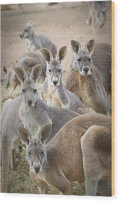 Kangaroos Waga Waga Australia Wood Print by Jim Julien