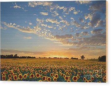 Kansas Sunflowers At Sunset Wood Print by Catherine Sherman