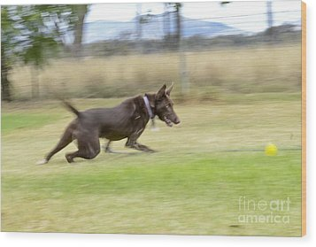 Kelpie Chasing A Ball Wood Print by Christopher Edmunds