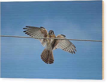 Kestrel Landing Wood Print