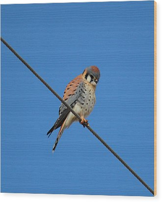 Kestrel On A Wire Wood Print