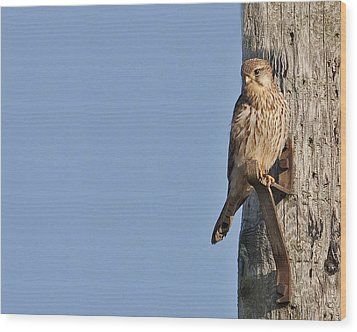 Wood Print featuring the photograph Kestrel by Paul Scoullar