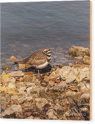 Kildeer On The Rocks Wood Print by Robert Frederick