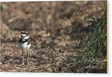 Killdeer Chick Wood Print by Skip Willits
