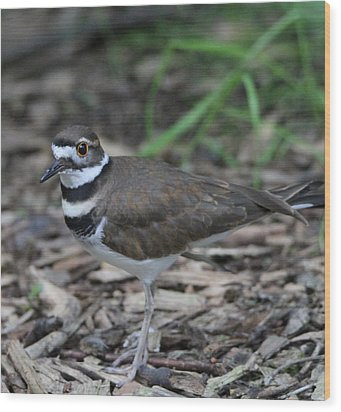 Killdeer Wood Print by Dan Sproul
