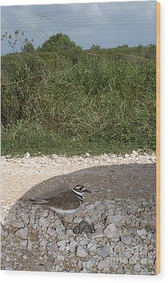 Killdeer Defending Nest Wood Print by Gregory G. Dimijian