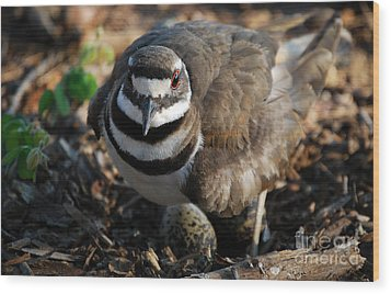 Killdeer Mom Wood Print by Skip Willits