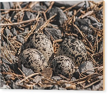 Killdeer Nest Wood Print by Lara Ellis
