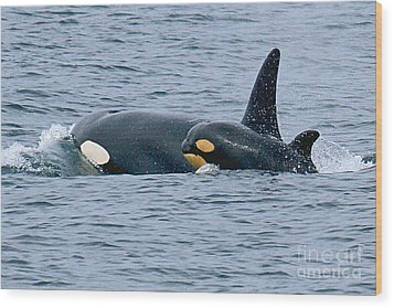 Wood Print featuring the photograph Killer Whale Mother And New Born Calf Orcas In Monterey Bay 2013 by California Views Mr Pat Hathaway Archives