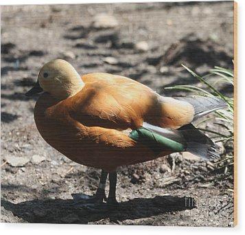 King Eider Duck Wood Print by John Telfer