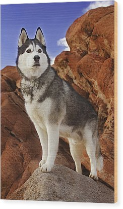Wood Print featuring the photograph King Of The Huskies by Brian Cross