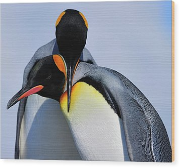 King Penguins Bonding Wood Print by Tony Beck