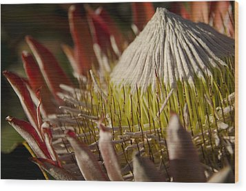 King Protea Wood Print by Aaron Bedell