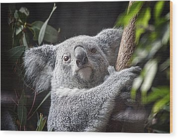 Koala Bear Wood Print by Tom Mc Nemar