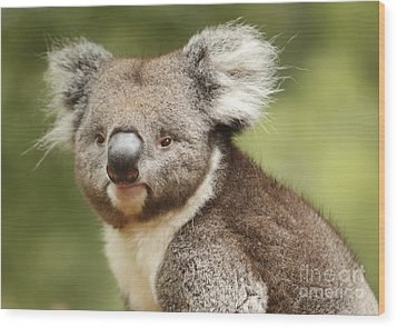 Koala Wood Print by Craig Dingle