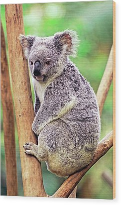 Koala In A Tree Wood Print