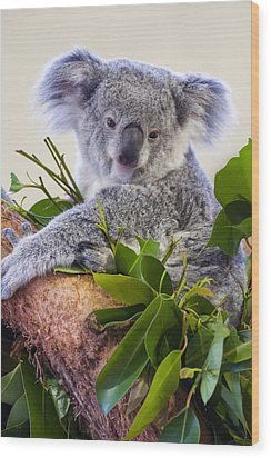 Koala On Top Of A Tree Wood Print