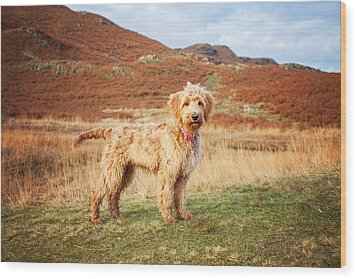 Labradoodle Puppy Wood Print by Mike Taylor