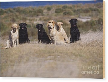 Labrador Dogs Waiting For Orders Wood Print by Chris Harvey