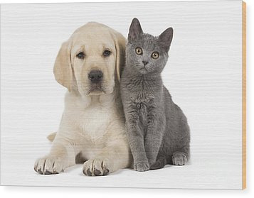 Labrador Puppy With Chartreux Kitten Wood Print by Jean-Michel Labat