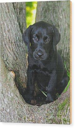 Labrador Retriever Puppy Wood Print by Catherine Reusch Daley