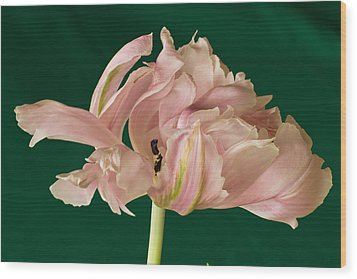 Lacey Tulip Wood Print by Patricia Schaefer