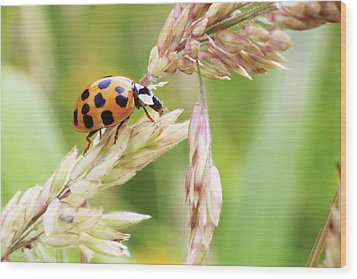 Lady Bug On A Warm Summer Day Wood Print
