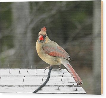 Lady Cardinal Wood Print by Cindy Croal