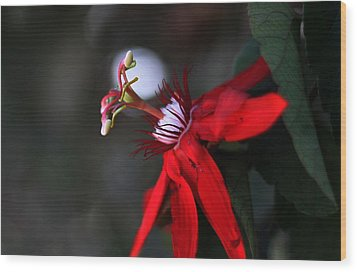 Wood Print featuring the photograph Lady Margaret - Passionflower  by Ramabhadran Thirupattur