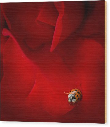 Ladybird In Rose Wood Print by Peta Thames