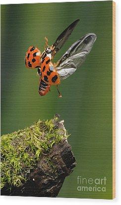 Ladybug Taking Off Wood Print by Scott Linstead